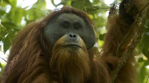 UvA-primatoloog beschrijft nieuwe orang-oetansoort op Sumatra