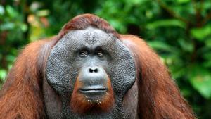 Wetenschappers luiden noodklok over afnemende primatenpopulatie